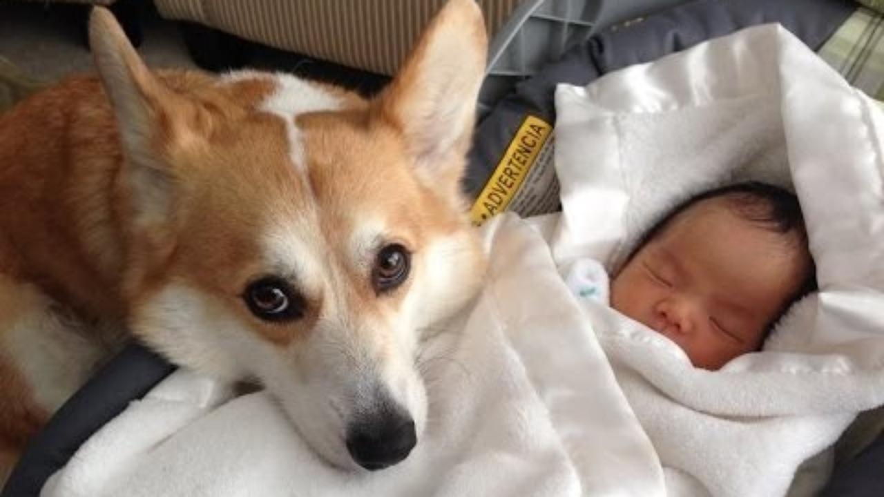 dog protect baby